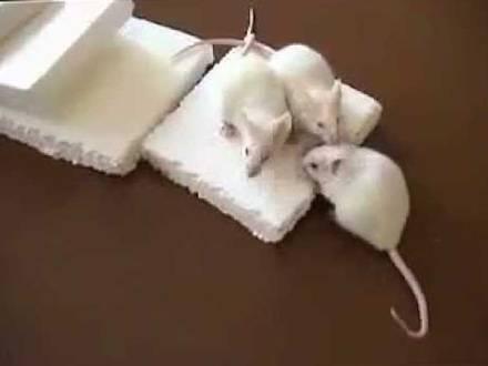 Живут ли мыши в каменной вате